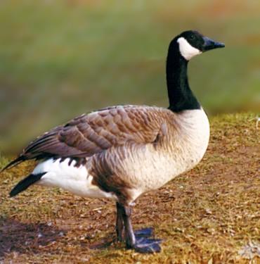 Canada Goose hats online store - Birds of Michigan - everett4NorthAmerica