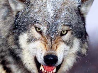 Ginako --- ninja hound [WIP] Red_wolf