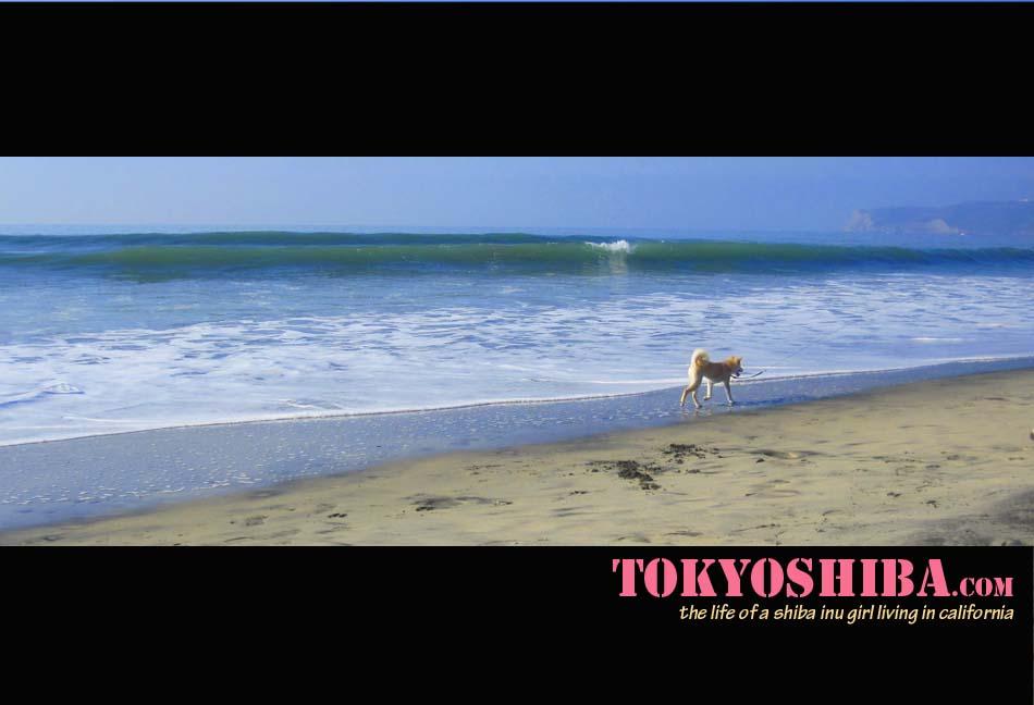 Tokyo: My Shiba Inu Life