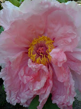 Tree Peony from My Garden
