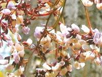 Nong Khai flower