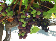 PINOT NOIR GRAPES THRIVING IN EDNA VALLEY'S COOLER CLIMATE