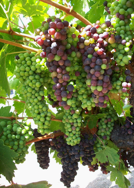 Zinfandel Clusters Ripening One at a Time