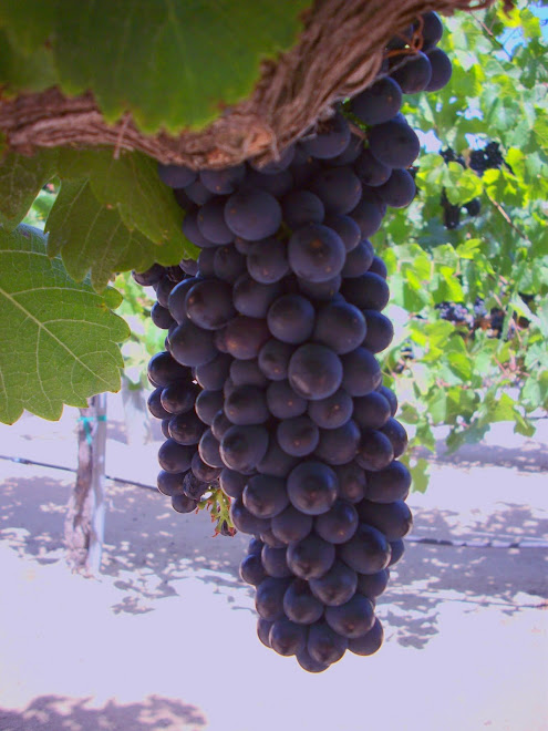 the black skins of syrah