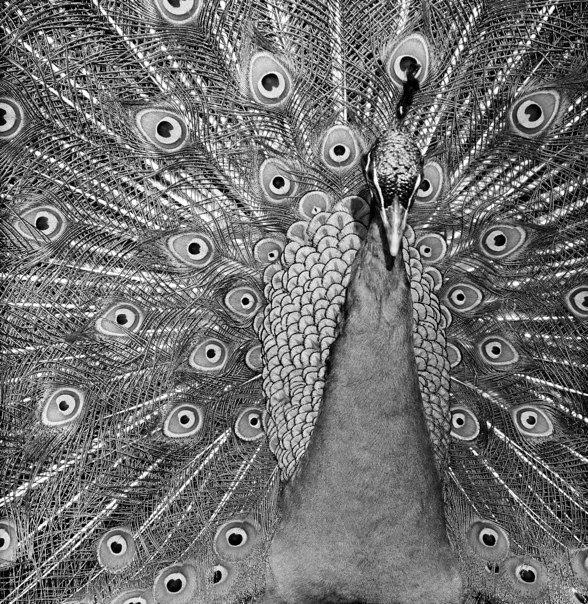 Moe the Peacock 2