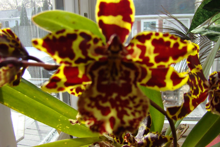 My Carmella Orchid