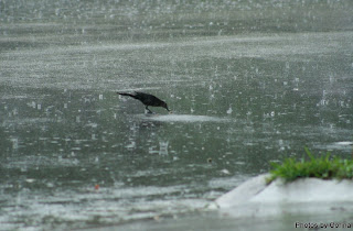 Black Bird in the Rain