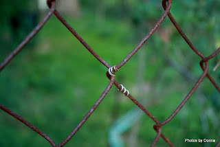 Stem Entwined in Fence