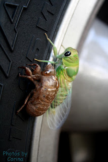 Green Cicada Next to Old Husk on Tire