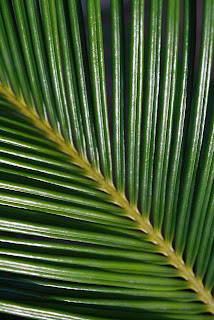 Close up Photo of Sago Palm Leaf