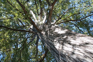Looking up at a Tree at Landa Park, New Braunfels, TX