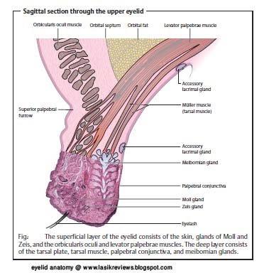 Lower eyelid anatomy