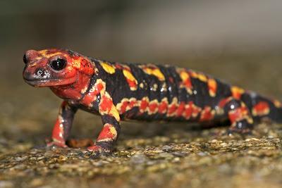 Anfíbios - Salamandra-de-pintas-amarelas (Salamandra salamandra gallaica)