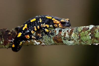 Anfíbios - Salamandra-de-pintas-amarelas (Salamandra salamandra)