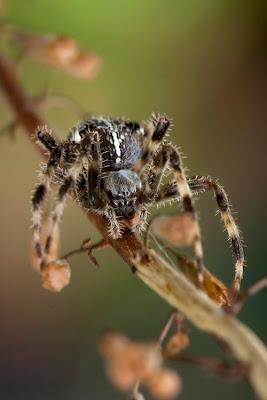 Artrópodes - Aranha (Araneus pallidus)