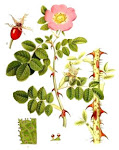 Rosa Mosqueta (rosa moschata Herrm.)