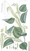 Tilo (tilia europaea L.)