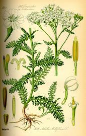 Milenrama (Achillea millefolium)