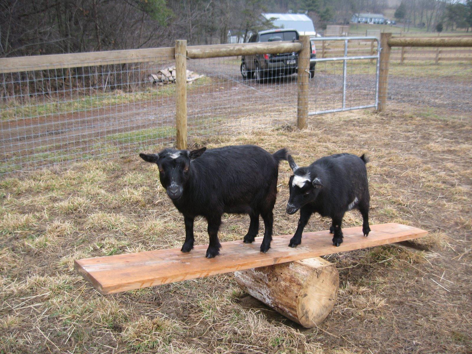 Bee Haven Acres: On The Subject of Housebreaking Goats......