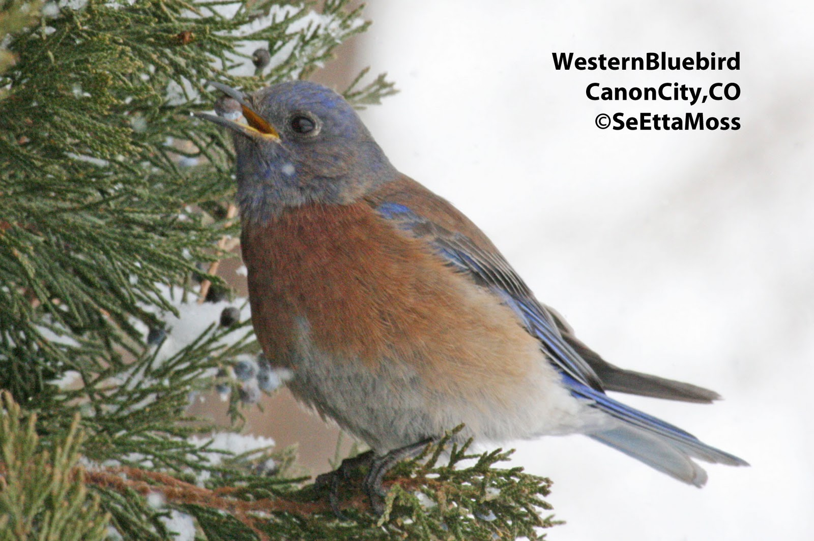 Western bluebird vs eastern bluebird