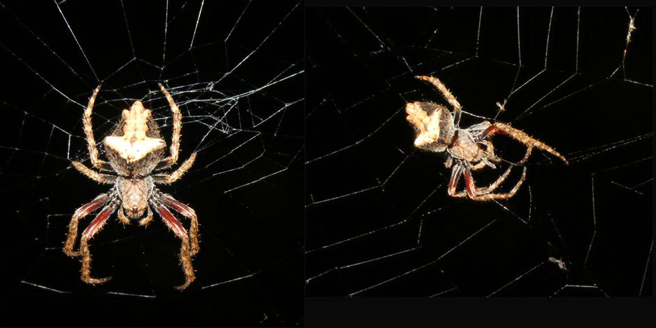The Spiderblogger garden orb weavers an amazing coincidence