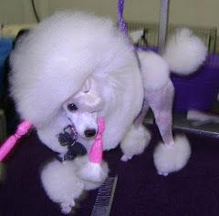 GIGI, my Special's Toy Poodle