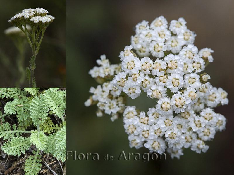 Flora de Arag�n: Achillea odorata