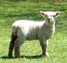 lambs at Tulip Tree Hill