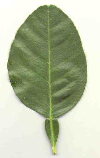 Pomelo Leaf