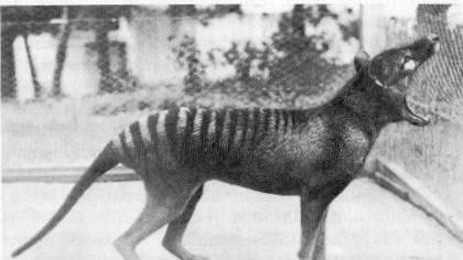 tasmanian tiger 10 Spesies Hewan yang Menakjubkan yang telah Punah