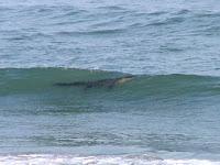 alligator ocean