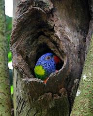 Baby parrott, Kuranda, Australia