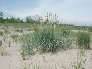 Ogden Dunes Environmental Advisory Board Odeab Lyme Grass May Assist In Beach Erosion