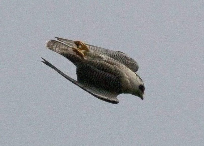See a Peregrine? Thank a Falconer