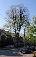 Tree on Lee Avenue, 09-05-15