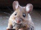 Camundongo, Mouse