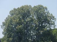 Tree June 27 2009