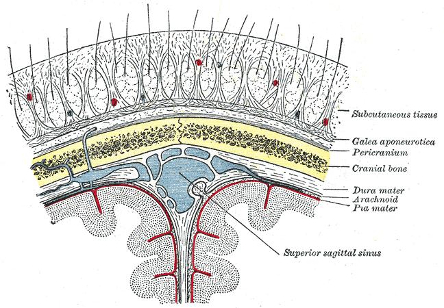 Scalp Layers (Anatomy Mnemonic) | Alchemipedia