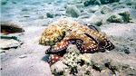 same octopus I saw in the Red Sea