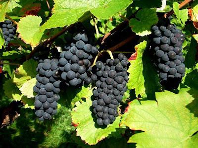 العنب الأسود يحمى من أمراض القلب