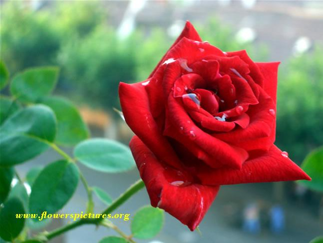 Best favorite flowers in the world red rose flower for What are the best flowers