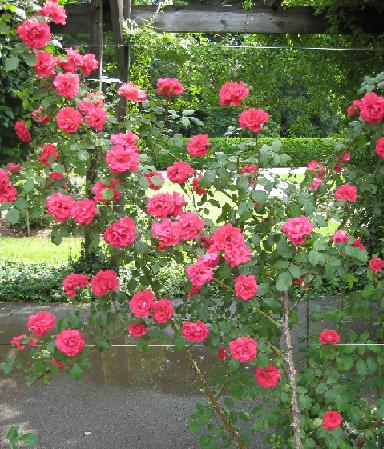 Best favorite flowers in the world top 10 climbing roses - When to plant roses ...