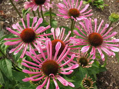 Smith Wholesale LLc Coneflower - All That Jazz - Bare Root at Sears.com