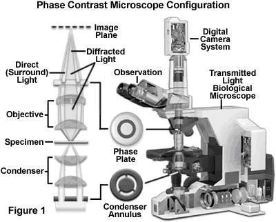 external image microscopia%2Bde%2Bcontraste%2Bde%2Bfase%2B1.JPG