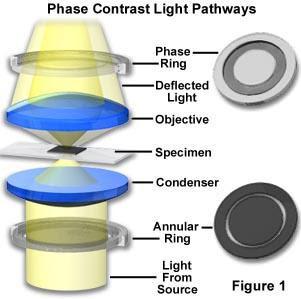 Que significa contraste de fases en un microscopio for Que significa wc