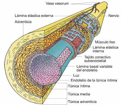 external image vasos+sanguineos+estructura.JPG