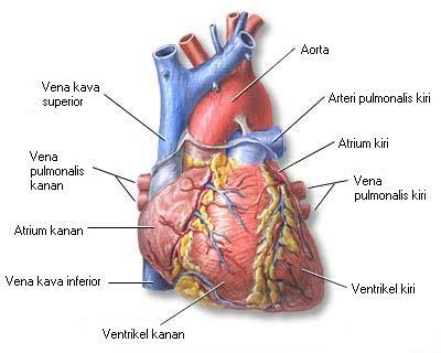 Jantung tampak depan