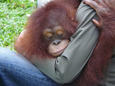 Orang Utan – The Endangered Species