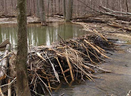 A beaver dam Black Hill Regional Park in Germantown, Maryland