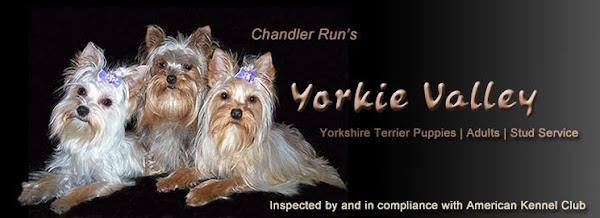 Yorkie Art